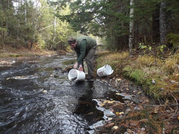 Kyle Winslow, a hatchery technician for the Downeast Salmon Federation, releases salmon parr into Seavey Brook in Wesley, a tributary of the East Machias River.