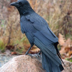 Crows gang up in urban roosts