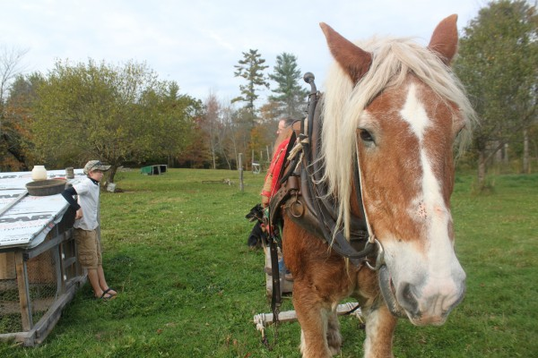 Belgian work horse Buddy transports timber and heavy equipment on Kynd View Farm in Searsmont in October 2013. Behind the horse, 12-year-old Fyn Kynd (left) talks with his father, Iam Kynd, about moving a chicken pen.
