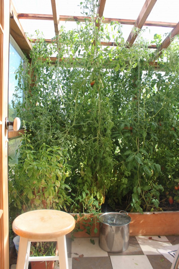 Tomatoes are ripening in the glass greenhouse attached to the main house of Kynd Family Farm in Searsmont in October 2013.