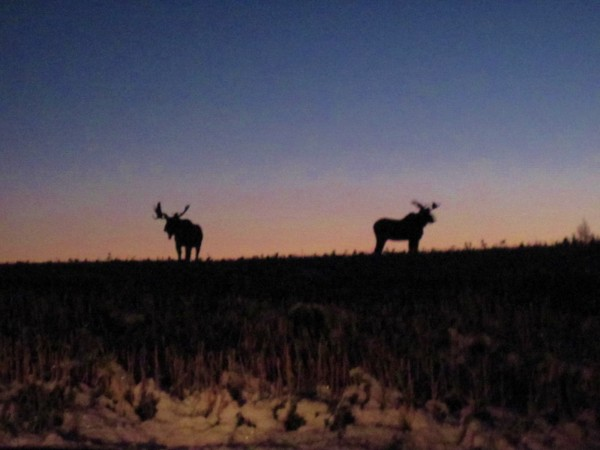 Two bull moose are profiled against the rising sun in Fort Kent last month.