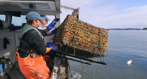 Stonington lobsterman Marsden Brewer (right) and Dana Morse of the University of Maine Marine Extension Team haul aboard one of the test cages used to grow scallops near Crotch Island off Stonington.