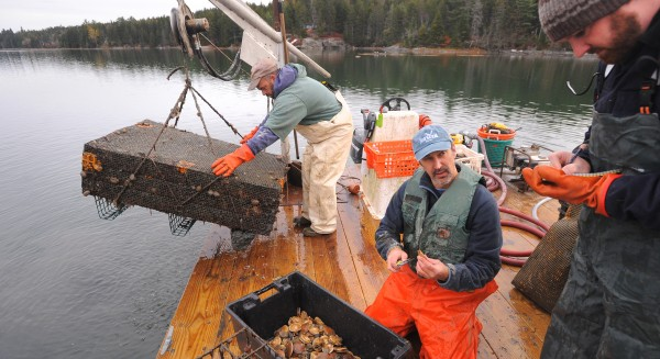 Kevin Scott (from left), co-owner of E&K Shellfish, hauls out a scallop-growing test cage as Dana Morse of the University of Maine Marine Extension Team and Chris Vonderweidt, a policy development specialist with DMR, record measurements of cultivated scallops on Salt Pond in Blue Hill.