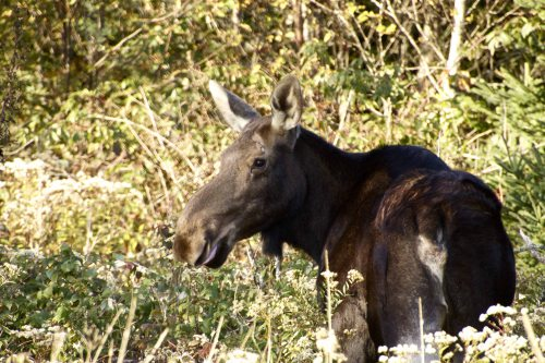 A cow moose Great Gott Island residents are calling Virginia has been living on the island, located off MDI, for the past few months. One resident upset at the moose for eating his apple trees has contacted game wardens, who for now have decided to leave the moose alone.