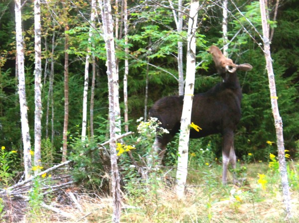 A cow moose Great Gott Island residents have nicknamed Virginia munches on an island maple tree. An island resident recently contacted state game wardens after the moose damaged his fruit trees, but wardens have decided for now against taking any action against the animal.
