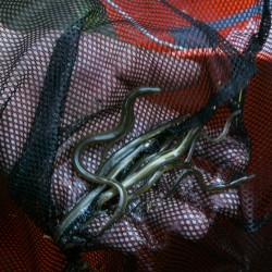 Two dozen cited for harvesting elvers without licenses in first two weeks of season