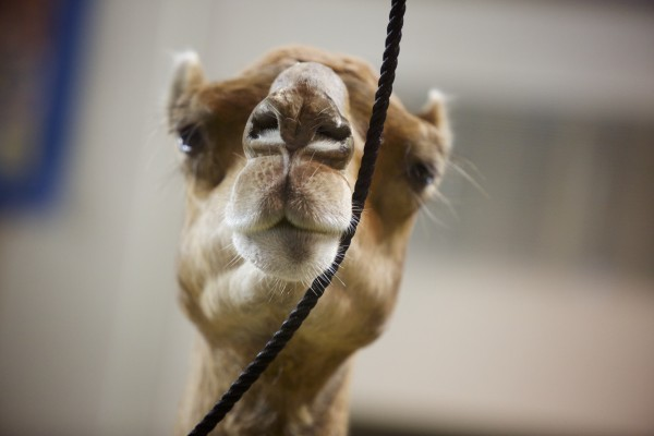 A camel brushes its nose against a rope Wednesday morning at the Cross Insurance Center in Bangor.