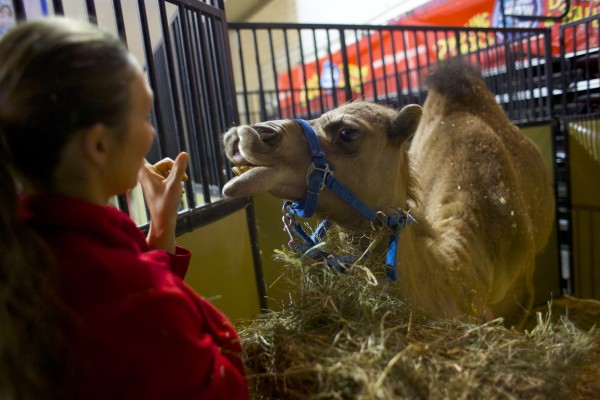 Gala Rogacheva feeds a dromedary camel that is part of the  Ringling Bros. and Barnum & Bailey Fully Charged show that will be at Bangor's Cross Insurance Center Thursday through Sunday.