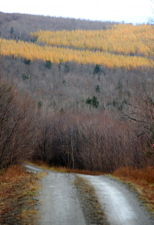 Larch trees line a ridge in part of the Plum Creek conservation easement encompassing 363,000 acres near Lily Bay Mountain as seen on Thursday, Nov. 7, 2013.