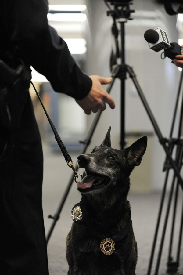 Endumin, an explosives detection canine at Bangor International Airport, watches his partner, Officer Dan Scipture, as he talks with the media during Endumin's retirement celebration on Tuesday at the airport.