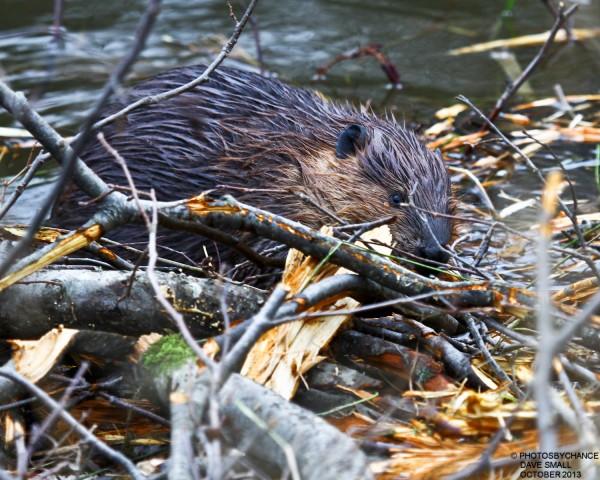 Beaver building a dam at Dead River.
