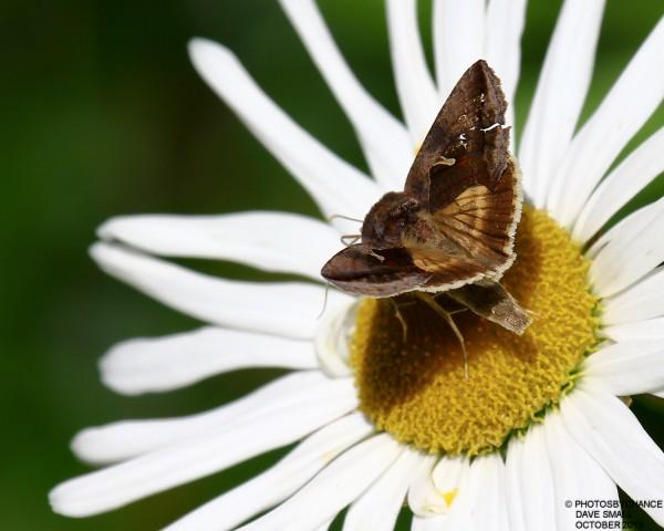 Celery looper moth.