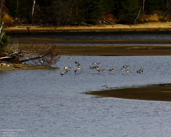 Common mergansers take flight over Flagstaff Lake.