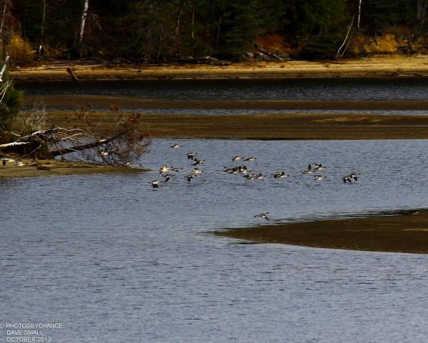 Common mergansers take flight over Flagstaff Lake.