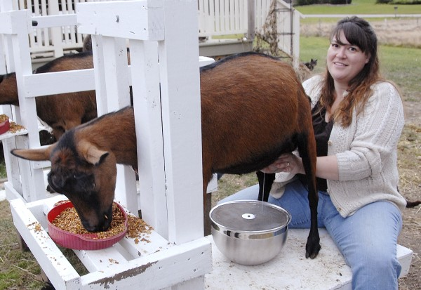 As part of the morning chores at Lally Broch Farm in Frankfort, Sonja Twombly milks Ruby, an Oberhasli doe registered with the American Dairy Goat Association.