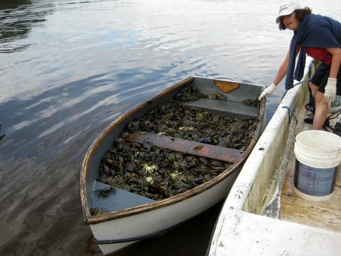 Green crabs caught by volunteers in Northern Bay fill a dinghy in this June 2012 photo. According to Bailey Bowden, chairman of the town's shellfish conservation committee, the crabs in the boat were caught in a 12-hour period with 10 lobster traps. Bowden was among several hundred people who participated Monday in a University of Maine conference about what should be done to control the crabs' booming population in Maine.