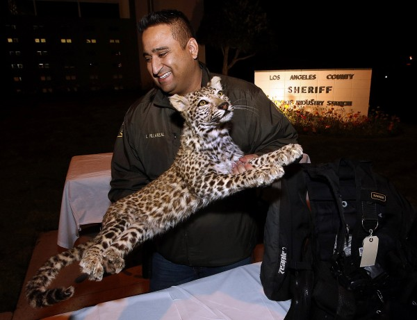 Detective Larry Villareal of the Industry Station Sherriff's Dept. in the City of Industry, Calif., carries a mounted Snow Leopard, valued by the owner at $250,000, back to the evidence locker after it was put on display for the media along with other stolen items on Wednesday, Dec. 11, 2013. The items were stolen from a home in La Habra Heights and thirteen juveniles and three adults were arrested.