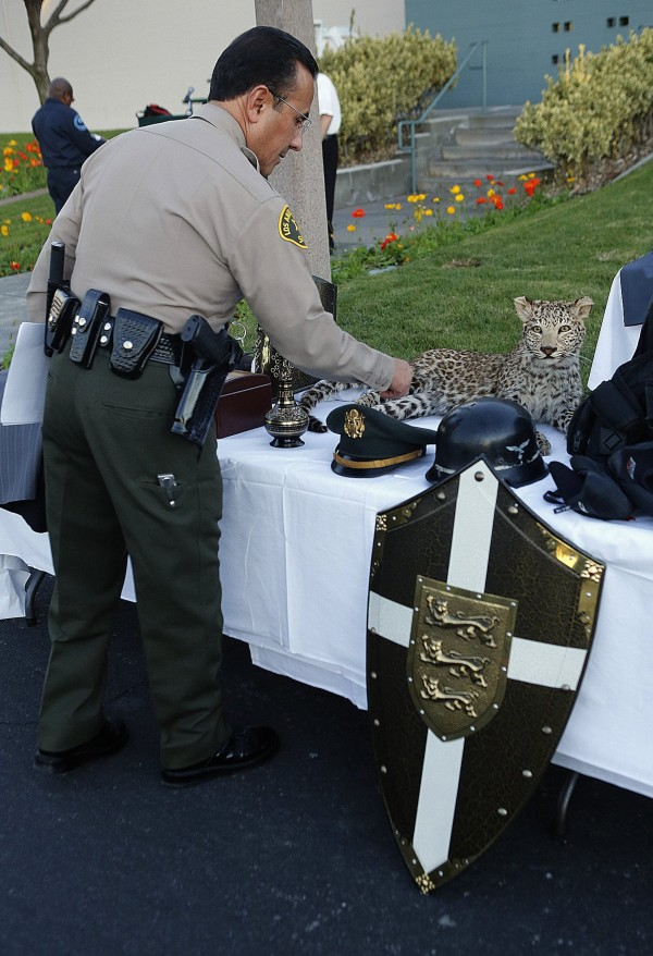 Chief James Lopez of the City of Industry, Calif., Sheriff's Station looks at recovered stolen items, including a mounted Snow Leopard valued by the owner at $250,000, and a reproduction of a knight's shield, on display for the media on Wednesday, Dec. 11, 2013. The items were stolen from a home in La Habra Heights and thirteen juveniles and three adults were arrested.
