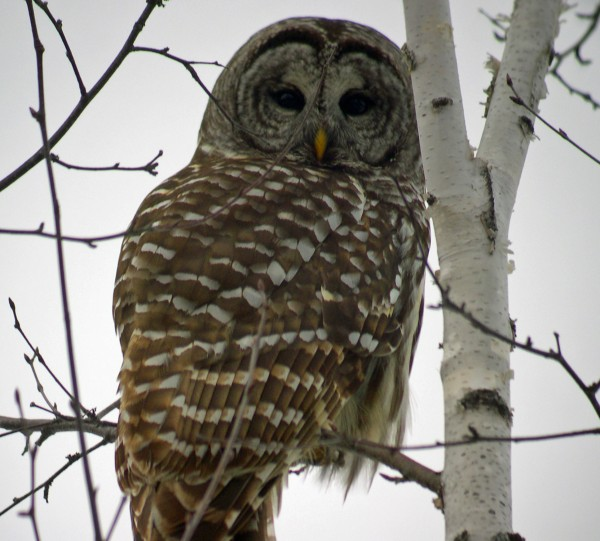 You might have seen 10 barred owls in 2013, but come the first of the year, you'll be able to reset your annual list and celebrate all the birds you see like you've never spotted them before.