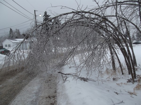 Trees bow over, weighed down by accumulating ice, into the street in a Machias neighborhood on Monday.