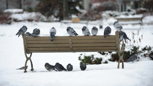 Pigeons flock to a park bench in Pickering Square Monday which lays covered in several inches of snow that fell overnight.