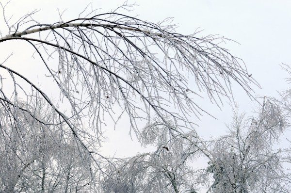 Birch trees in Glenburn bend low Tuesday with the weight of ice from Monday's ice storm.