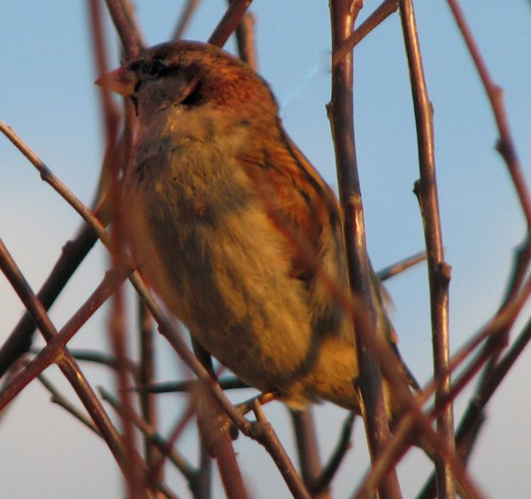 House sparrows aren't native to the U.S., but can now be found in all of the lower 48 states.