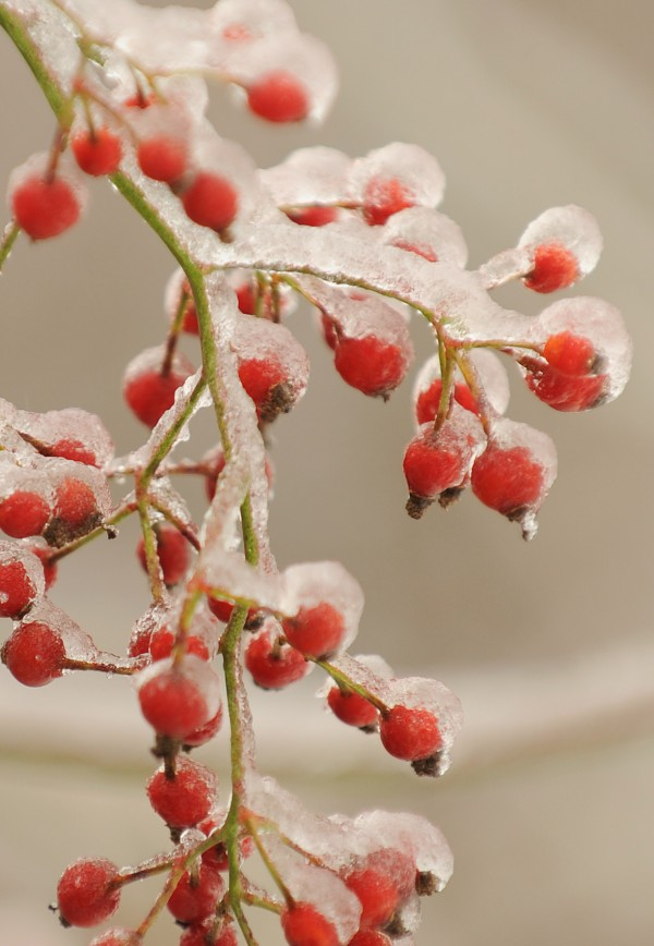 Sunday's ice storm coated berries hanging on a bush along Pier Street in Bangor.
