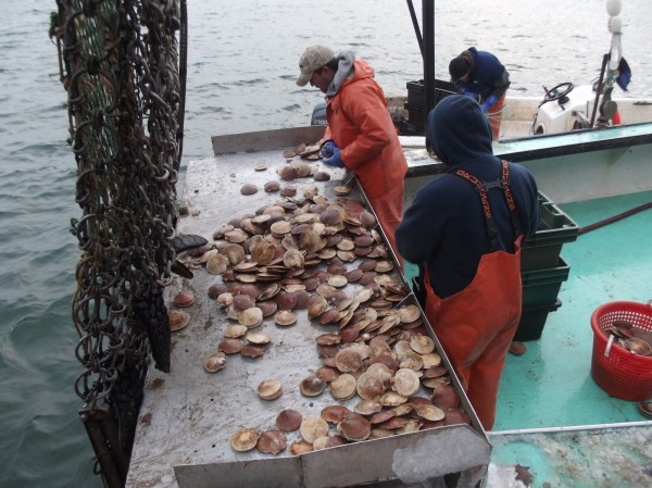 Ryan Priest (left) of Dennysville and Charles Sinclair of Charlotte (right) sort scallops aboard the Drusilla L. on Friday.