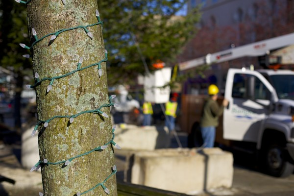 Lights wrap around a tree in West Market Square where the City of Bangor placed it's 2013 holiday tree Wednesday morning. The tree was donated to the city by Sprague's Nursery and according to Dan Sprague is 36 feet tall and about 27 years old.