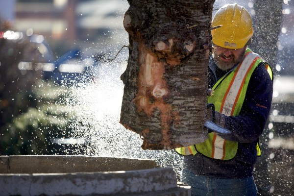 Andrew Carter trims the bottom of Bangor's 2013 holiday tree to fit into its stand in West Market Square Wednesday morning. The tree was donated to the city by Sprague's Nursery and according to Dan Sprague is 36 feet tall and about 27 years old.