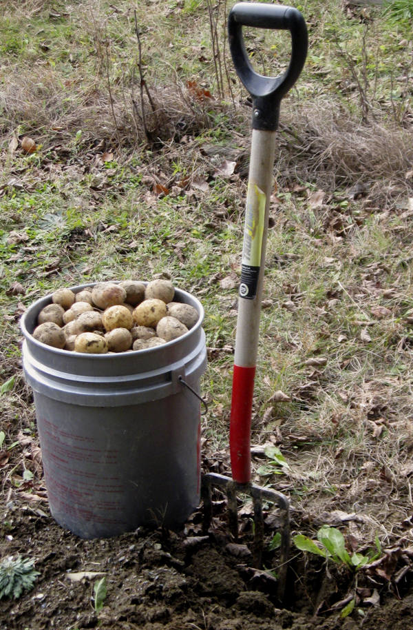 "The lingering autumn warmth that lasted into early November lulled many gardeners into postponing their harvests. Greg Westrich, a writer who lives in Glenburn, was among those gardeners alerted by recent cold snaps that ""Maine is easing into winter."" He quickly dug the last of his potatoes."
