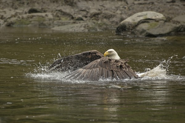 Its wing gyrations resembling the strong strokes of an experienced swimmer, a bald eagle pursues a fish into Orland waters in an image captured by professional photographer Michele Barker, a Hudson resident.