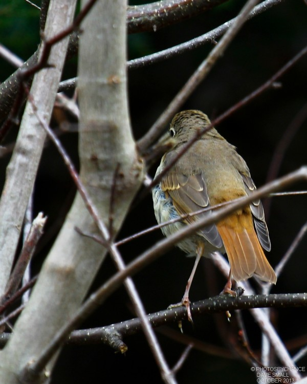 A hermit thrush, hard at work.