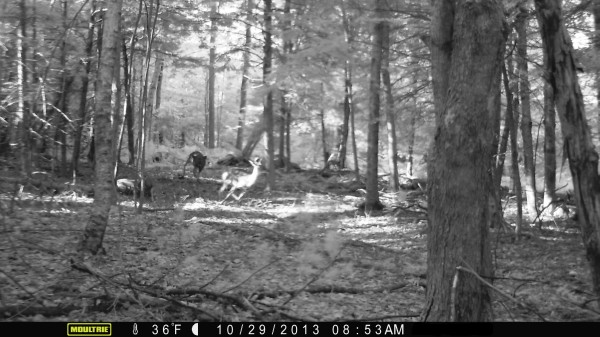 The mystery beast of Wayne, Maine, chases its prey.