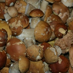 A plethora of Porcini destined for the roasting pan.