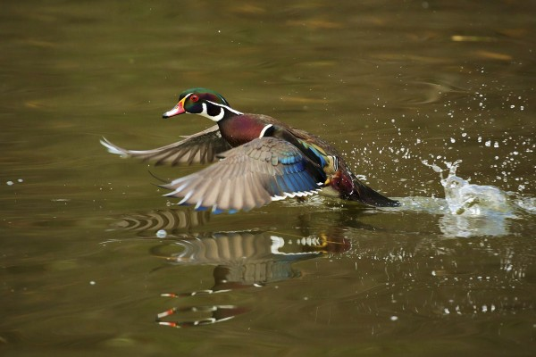 While working in New Hampshire during Veterans Day weekend, professional photographer Michele Barker captured in exquisite detail this wood duck drake taking off from a pond.
