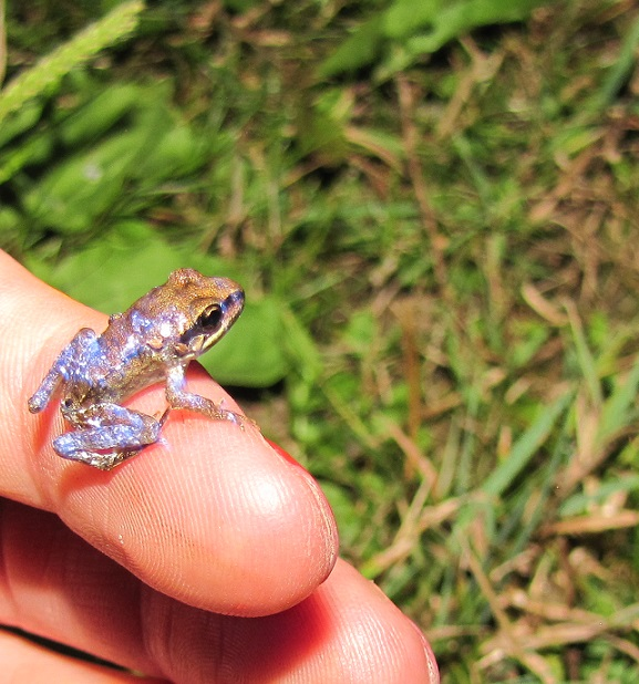 juvenile wood frog photo by Brittany Cline