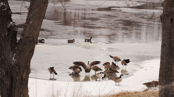 Canada Geese preen beside the Stillwater River in Orono on Monday during a break in the snow.