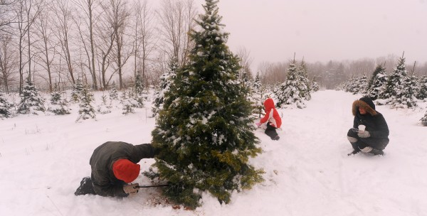 Thom Tardiff (left) of Brewer cuts down the tree his family selected after much searching at the Piper Mountain Christmas tree farm in Newburgh Monday. Also pictured are his wife Shaylee Tardiff and his daughter Claire.