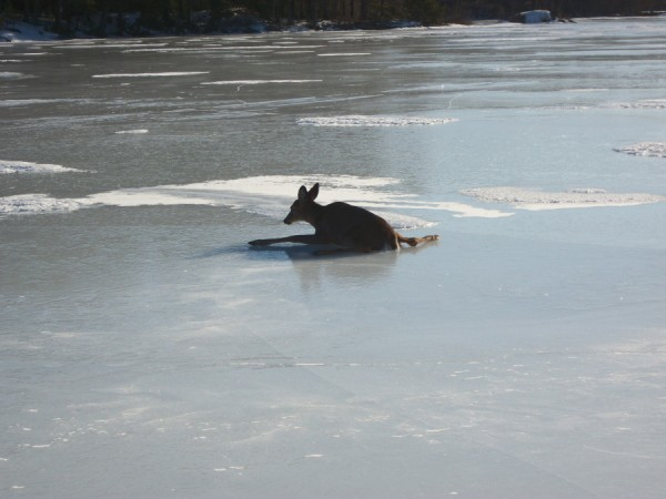 A distressed deer lays splayed on the slick ice of Megunticook Lake unable to get up on Tuesday. Justin Twitchell, lake warden of the Megunticook Lake Association, and Dan Ford were able to drag the deer to shore, where it rested a few minutes before getting up and running into the woods.
