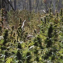 Prosecutor calls Township 37 pot farm 'big business' for landowner as trial begins