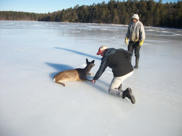 Two men worked to rescue a deer that was stuck on the ice of Megunticook Lake Tuesday. Lake Warden Justin Twitchell (kneeling) and Dan Ford, who had first noticed the distressed animal, dragged it to shore, where it rested a few minutes before getting up and running into the woods.