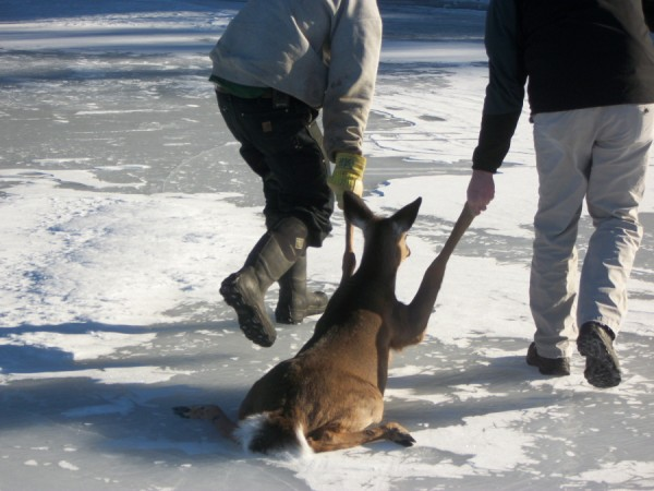 Justin Twitchell, lake warden of the Megunticook Lake Association, (right) and Dan Ford drag an exhausted deer to shore on Tuesday after finding the animal stuck on the slick lake ice. The deer rested a few minutes on shore and then ran into the woods.