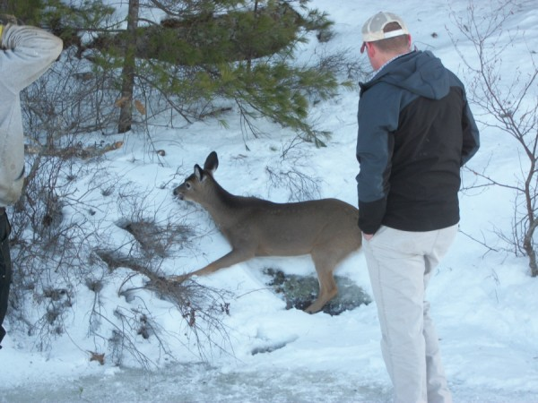Justin Twitchell, lake warden of the Megunticook Lake Association, watches an exhausted deer rest on Tuesday after he helped drag it to shore from the slick ice on the lake where the animal had been stuck. After a few minutes, it got up and ran into the woods.