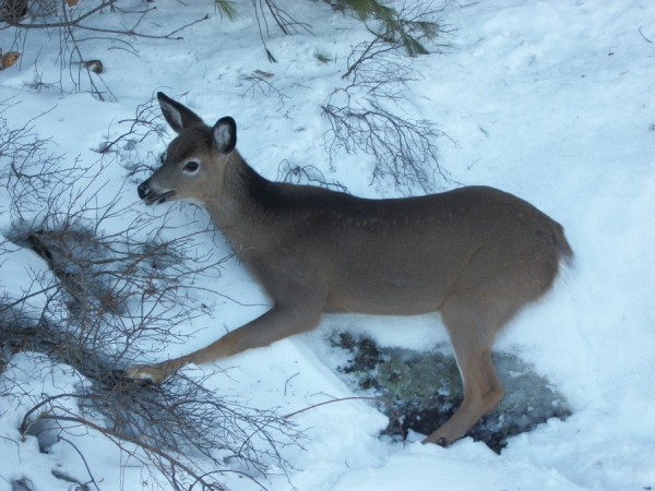 An exhausted deer rests on the shore of Megunticook Lake on Tuesday after Lake Warden Justin Twitchell and Dan Ford dragged it there from the slick ice on the lake where the animal had been stuck. After a few minutes, it got up and ran into the woods.