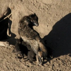 Popular gray wolf killed by hunters in Yellowstone