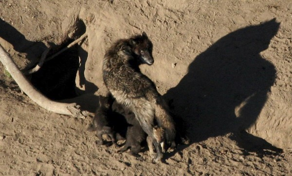 A gray wolf and its nursing pups are pictured in Yellowstone National Park