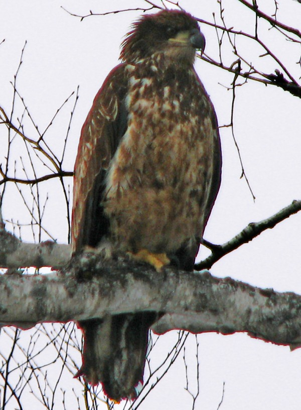 Red-tail hawk spotted along Interstate-95.