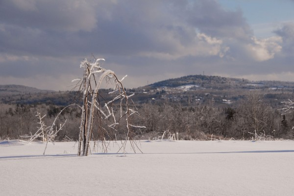 Bent beneath glistening ice, saplings atop Whiting Hill in Brewer bow toward ice-covered Copeland Hill in Holden on New Year's Day.